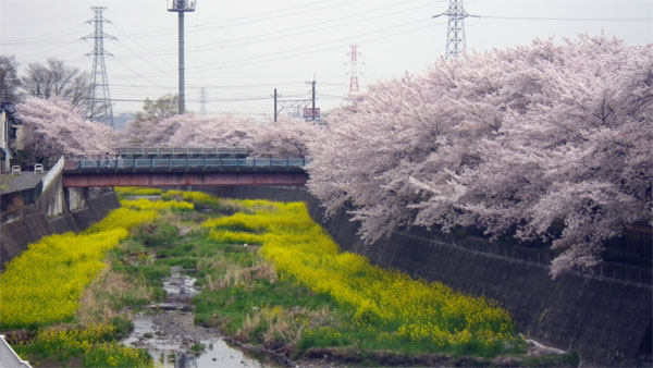 Sakura201204