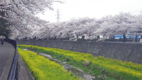 Sakura201205